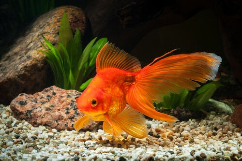 The goldfish is one of the cold water fish.