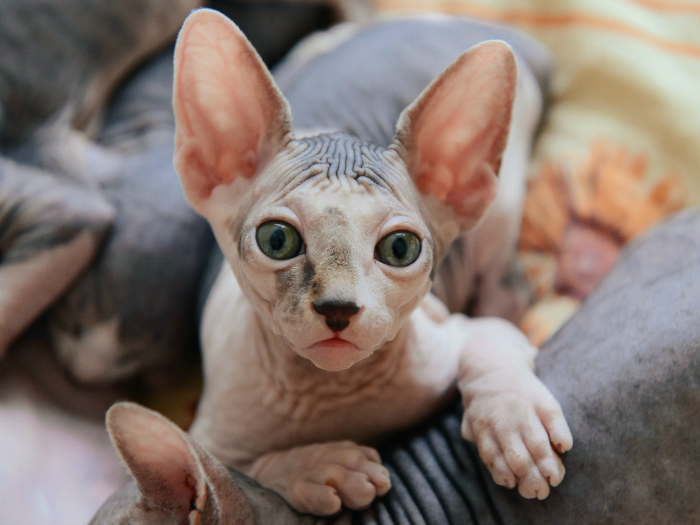 Sphinx cat or sphynx cat