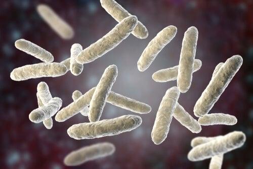 Bacteria of the intestinal flora