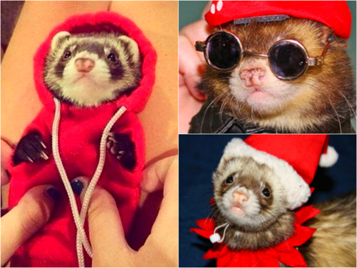Ferrets with costumes