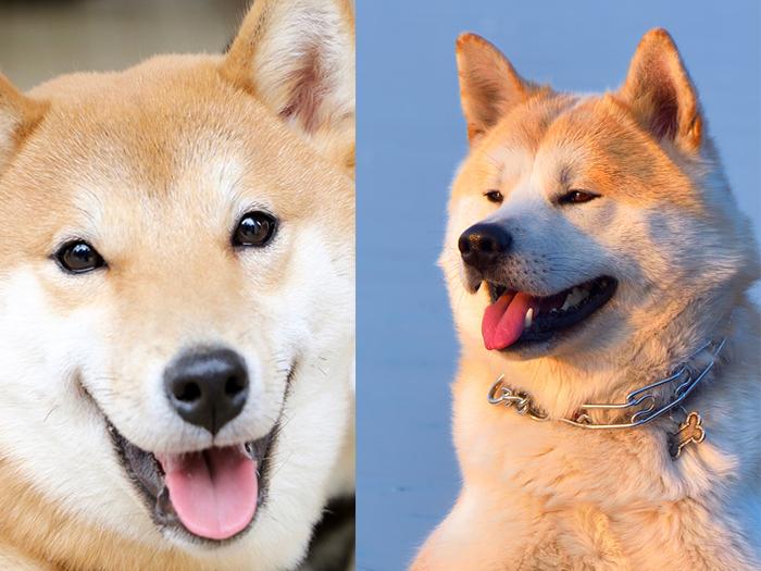 Akita and Shiba inu differences