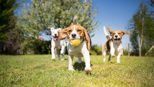 Beagles playing in the park