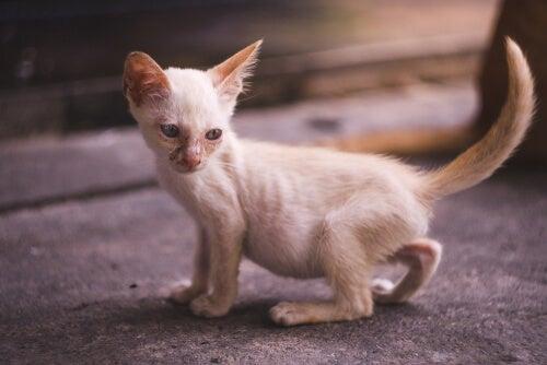 Urinating cat