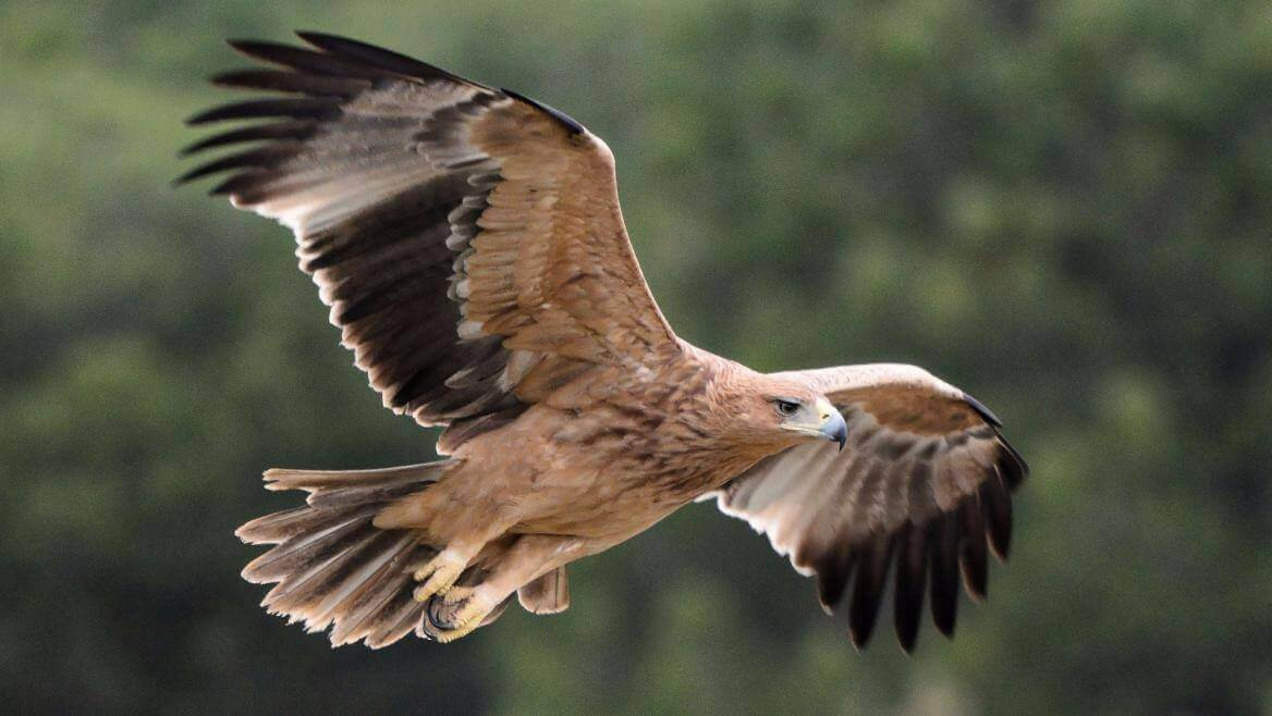 Iberian imperial eagle flying