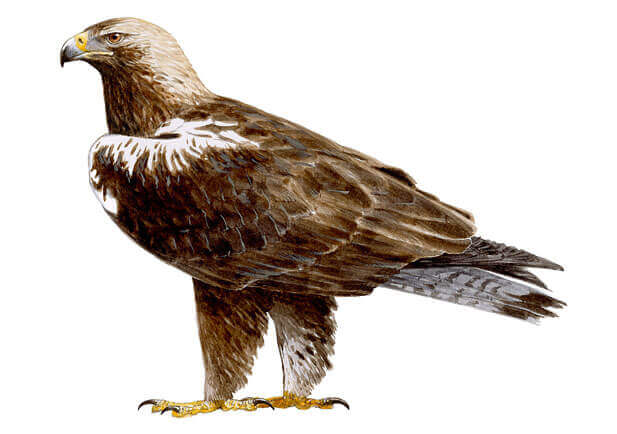 Illustration of the Iberian imperial eagle