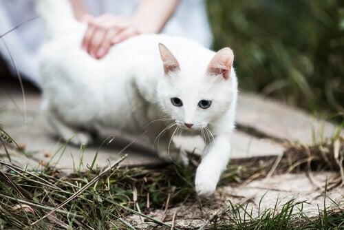 Stroking white cat
