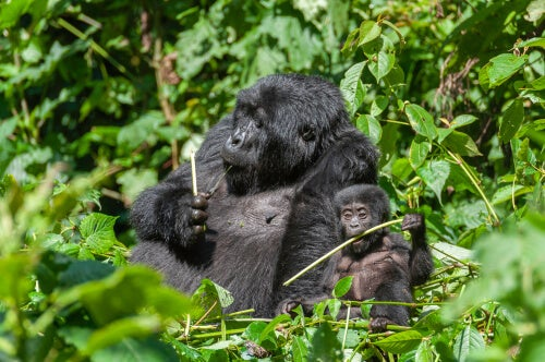Gorilla eating with her young