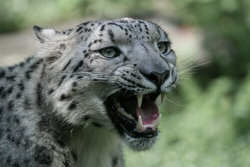 Maw of the snow leopard