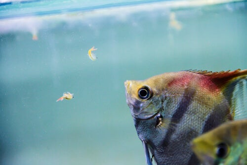Freshwater Angel Fish Eating