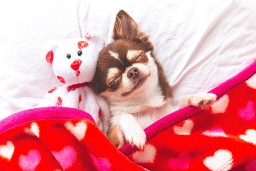Dog lying with stuffed animal