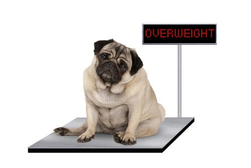 Obese dog on the scale