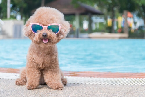 Dog with sunglasses in the pool