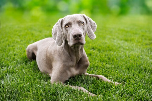 Bone and joint health in large breeds Dogs
