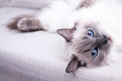 Ragdoll cat 6 Powerful recommendations  For Survival