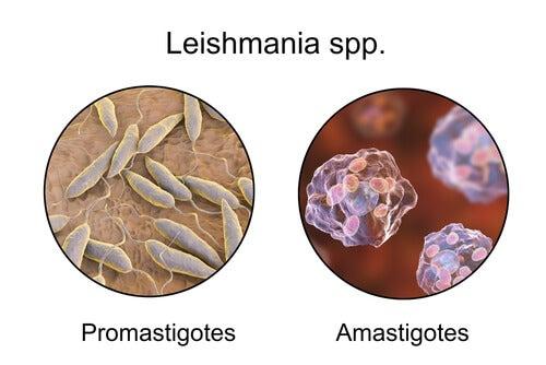 Leishmaniosis parasites