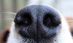 dog's sense of smell-5-300x180
