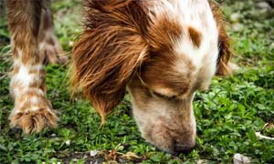 dog's sense of smell-2-300x180