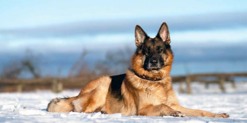 German shepherd2-30-800x400