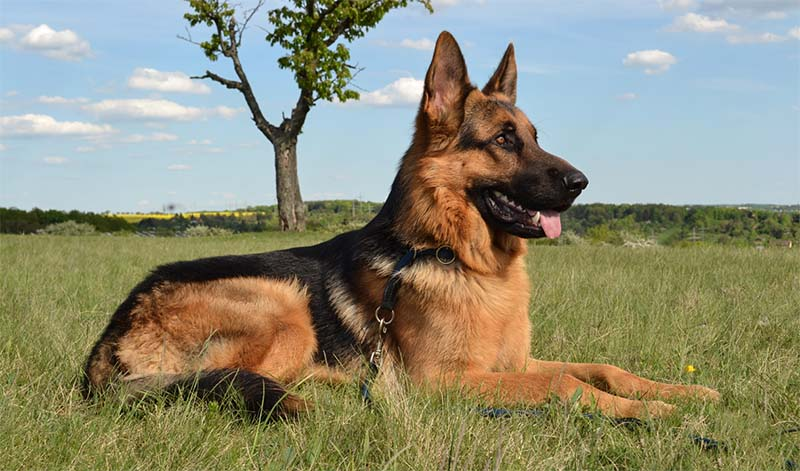 German shepherd2-26-800x400