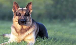 German shepherd3-300x180