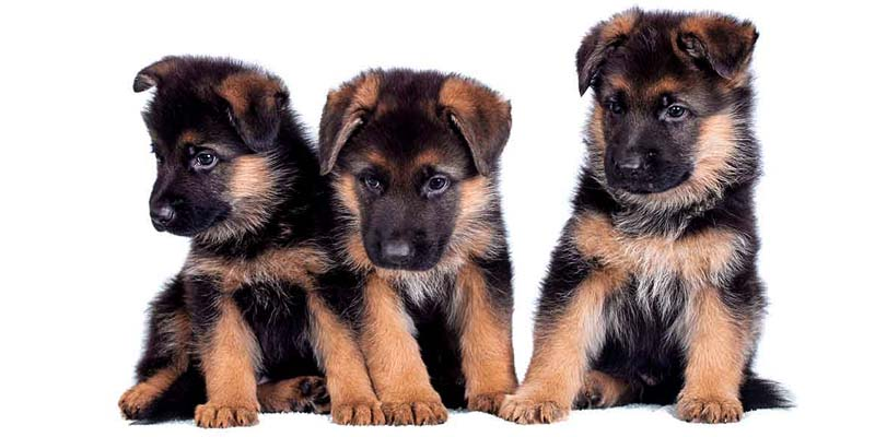 German shepherd2-31-800x400