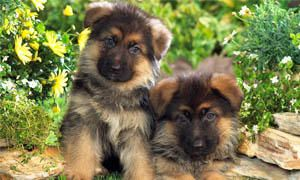German shepherd4-300x180