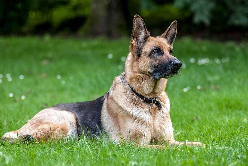 "German shepherd2-14-800x400 ""width ="" 800 ""height ="" 536"
