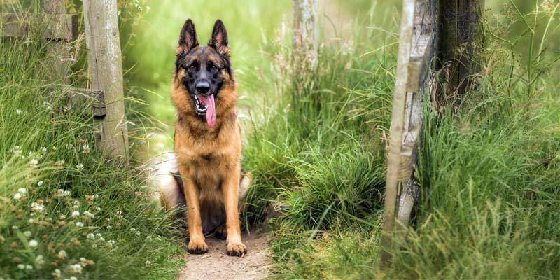 "German shepherd2-17-800x400 ""width ="" 800 ""height ="" 400"