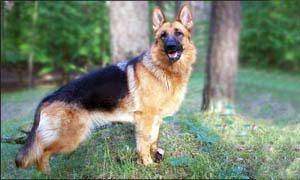 German shepherd1-300x180