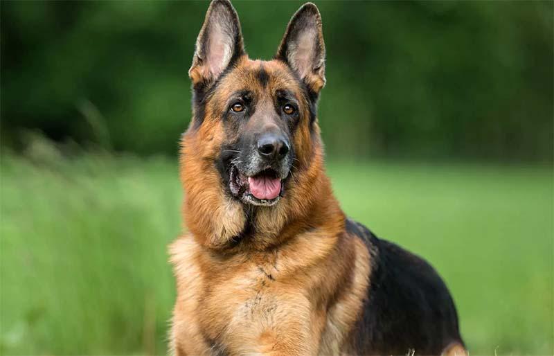 "German shepherd2-15-800x400 ""width ="" 800 ""height ="" 514"