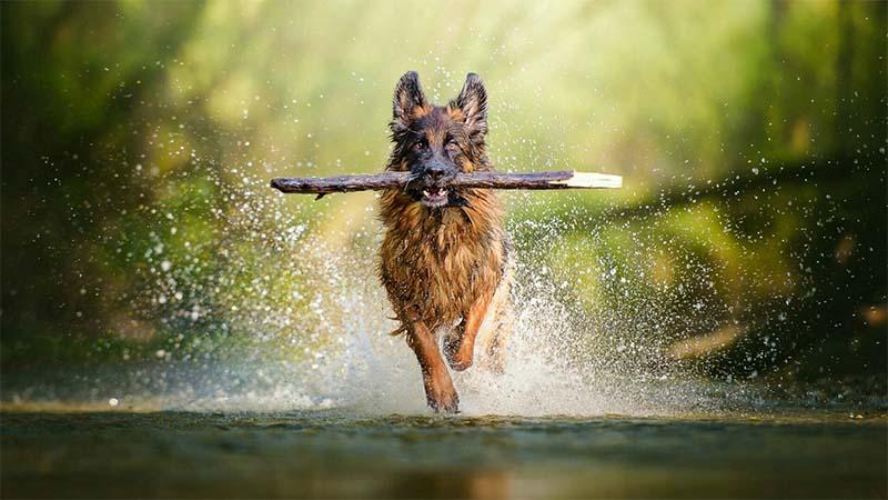 "German shepherd2-11-800x400 ""width ="" 800 ""height ="" 450"