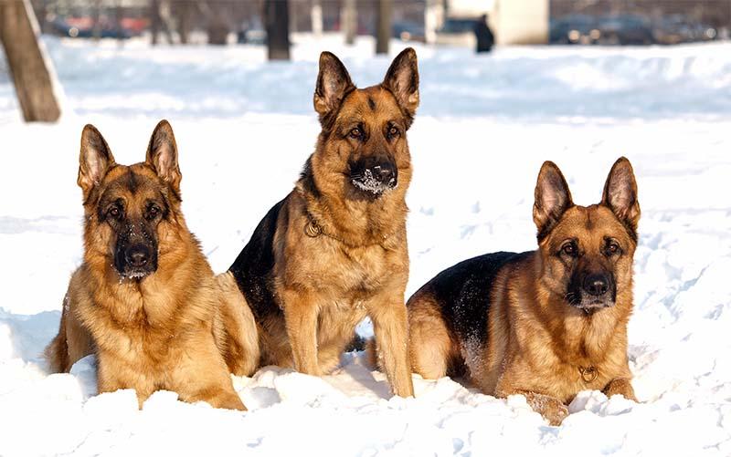 "german shepherd 2-6-800x400 ""width ="" 800 ""height ="" 501"