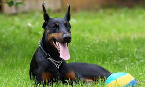 related breeds-300x180