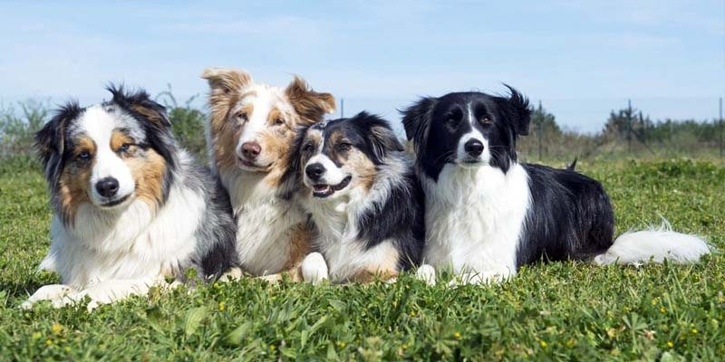 "shepherd dog-800x400 ""width ="" 800 ""height ="" 400"