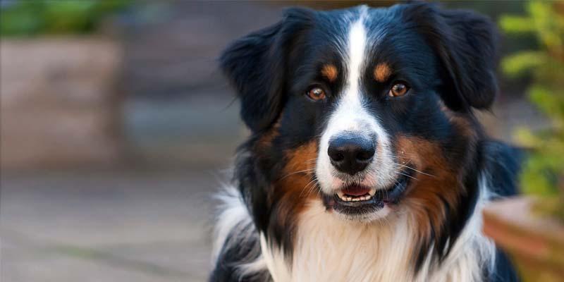 "shepherd dog2-800x400 ""width ="" 800 ""height ="" 400"