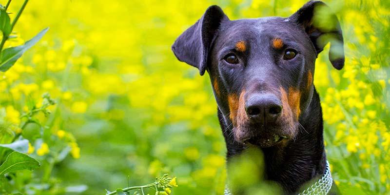 "defense dog1-800x400 ""width ="" 800 ""height ="" 400"