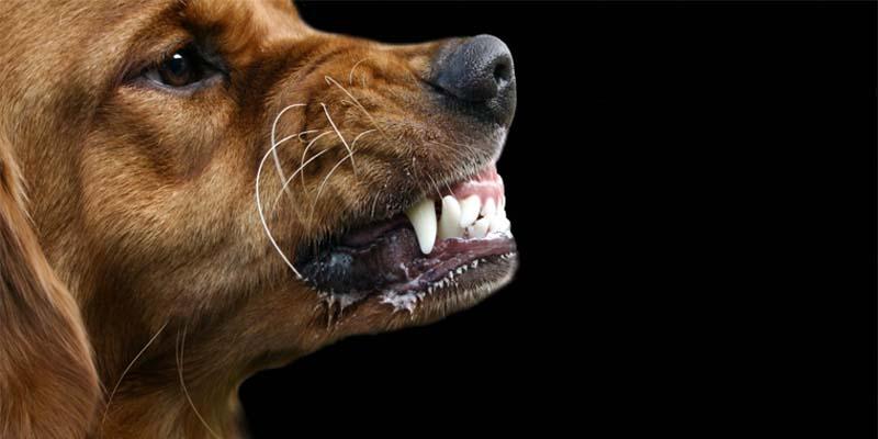 "aggressive-dog-2-800x400 ""width ="" 800 ""height ="" 400"