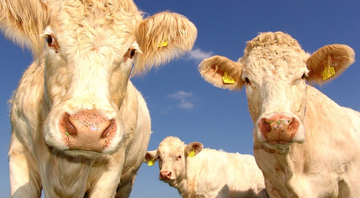 Cows are able to talk to each other and express the emotions they feel: a study reveals it