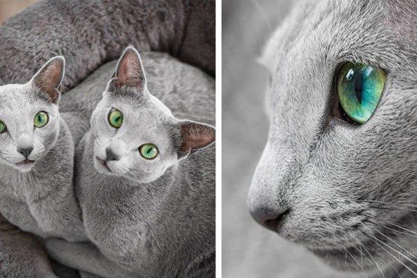 These 2 Russian Blue breed kittens all enchant with their green eyes and silver fur
