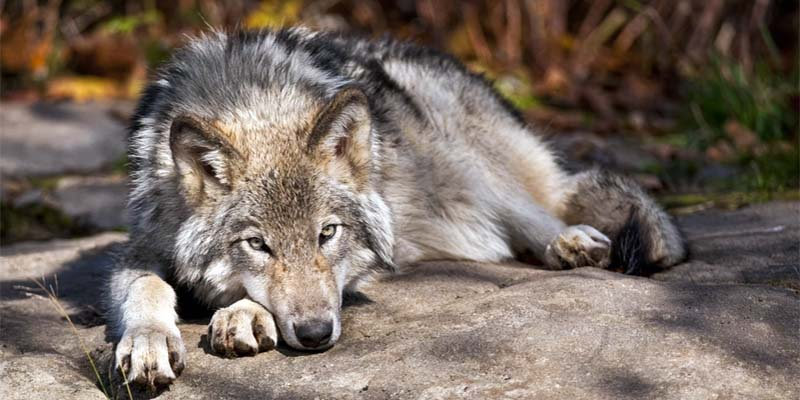"dog and wolf-10-800x400 ""width ="" 800 ""height ="" 400"