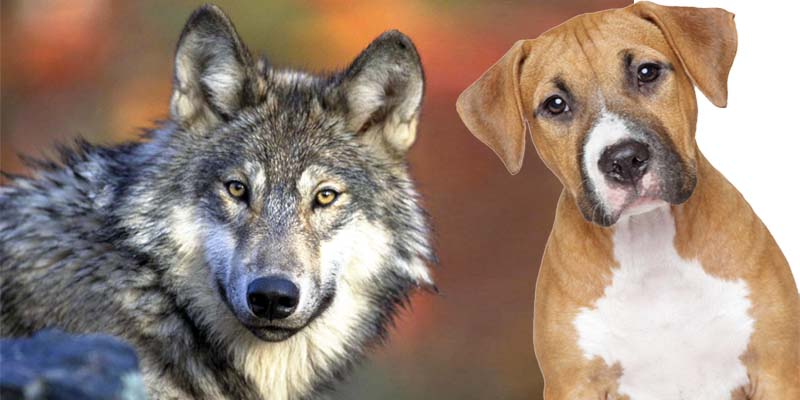"dog and wolf-8-800x400 ""width ="" 800 ""height ="" 400"