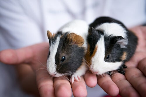 Top 4 guinea pig skin care