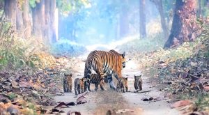 A man manages to capture a beautiful tiger who walks in the forest with his 5 cubs