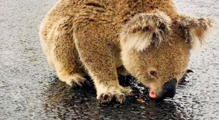 A woman captures a thirsty koala while she licks the raindrops from the asphalt of the street
