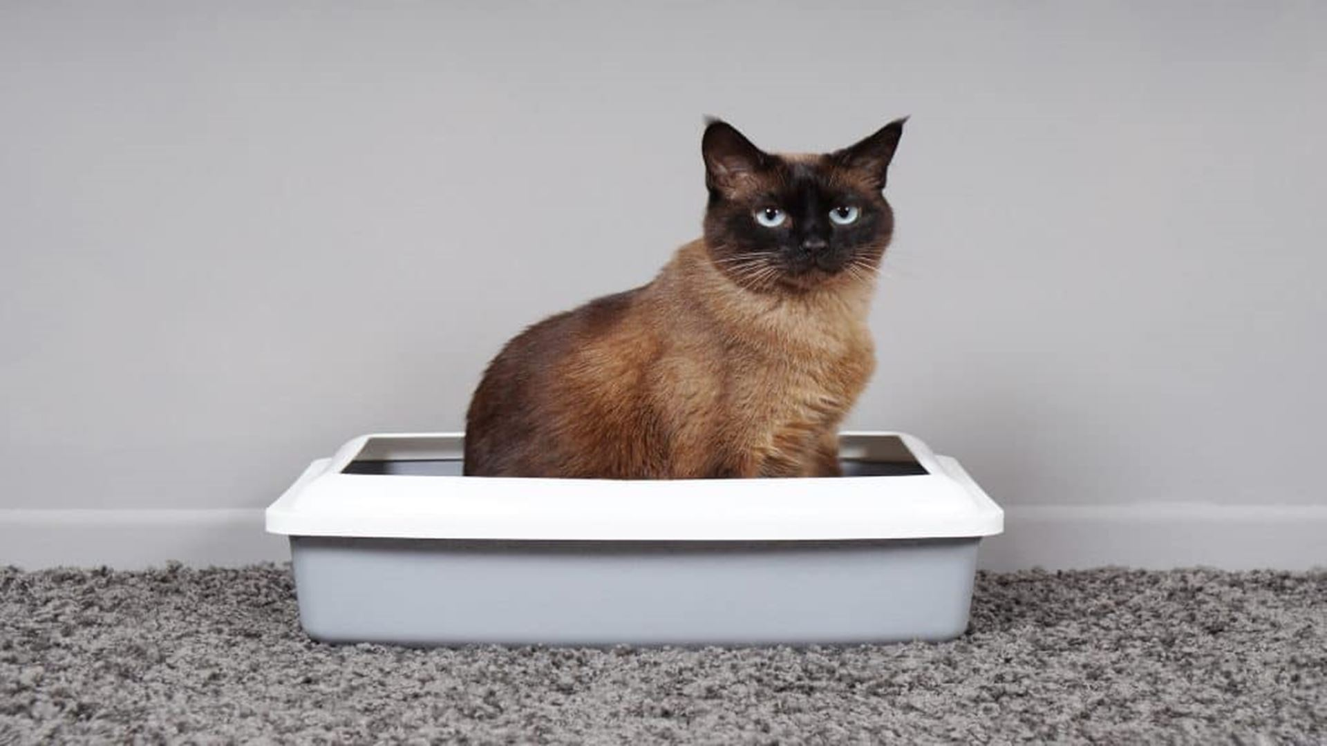 Best Cat Litter 2020: Buying Guide