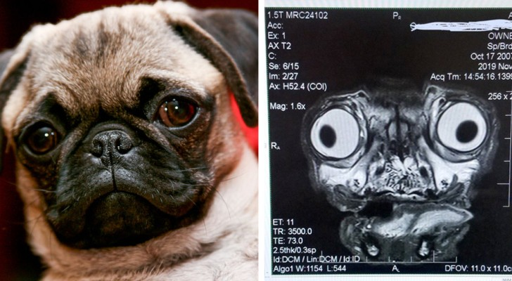 The disturbing x-ray of a pug shows all the health problems this dog breed suffers from