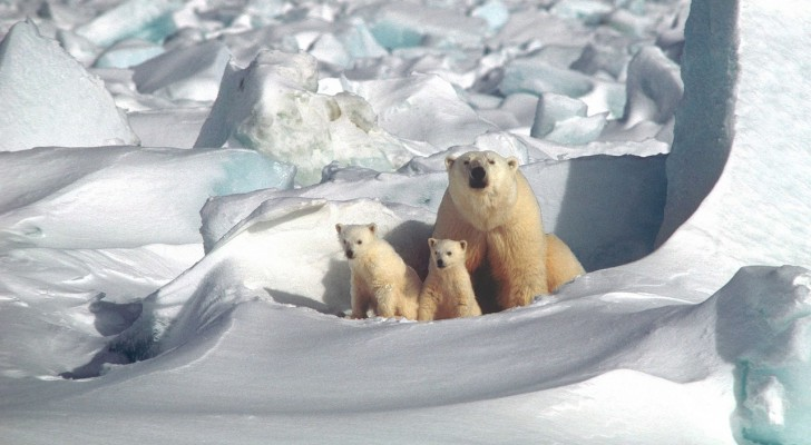 The polar bear population in the Arctic may be growing, experts say