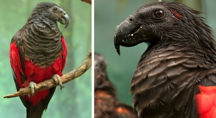 "They call him Parrot ""Dracula"" but his appearance must not deceive: this bird eats only seeds and fruit"
