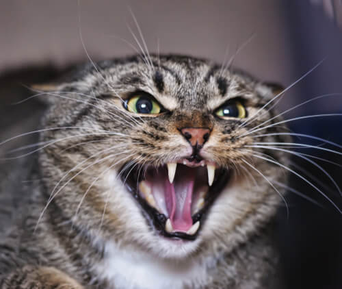 Why can cats become aggressive? - My animals