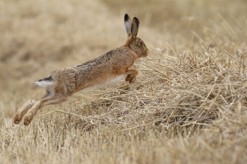 brown hare syndrome